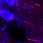 Dopaminergic (TH; blue) neuron in the olfactory bulb with an AIS (AnkG; magenta) in a soma-emanating axon