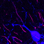 Dopaminergic cell (TH; blue) in the olfactory bulb, with a clear AIS (AnkG; magenta) in an axon emanating from a primary dendrite
